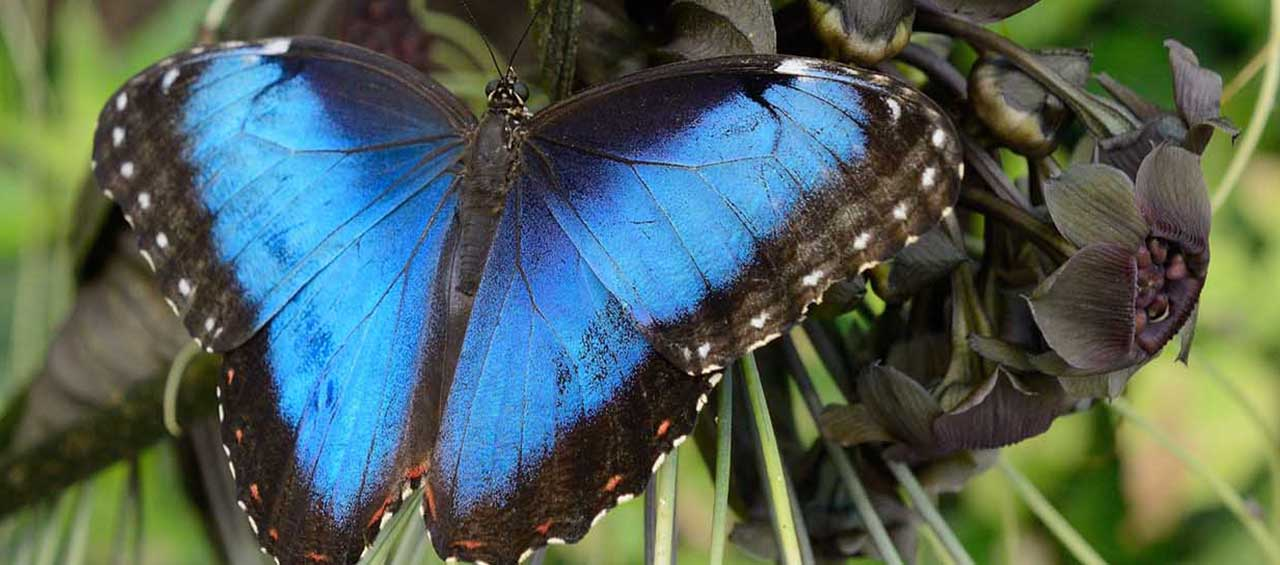 See the blue morpho in the Butterfly Atrium